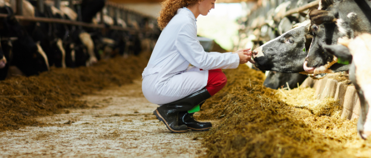 veterinarian with dairy cows
